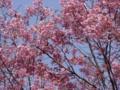 [桜]陽光('08328撮影)