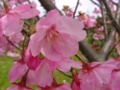 [桜]陽光('070325撮影)