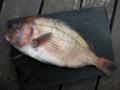 [魚]真鯛42cm