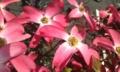 [花]アメリカハナミズキ