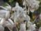 ギンギヤナム蟻つき(白花)