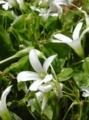 [花]オキザリス
