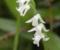 ネジバナ(白花)