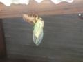 [蝉]クマゼミの羽化4