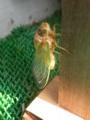 [蝉]クマゼミ羽化後