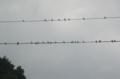 [鳥]ツバメ集団