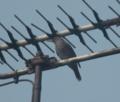 [鳥]イソヒヨドリ