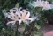 白いヒガンバナ