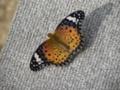 [蝶]ツマグロヒョウモン