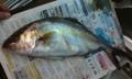 [魚]シオ(カンパチ)