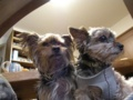 [うちの犬]リンと息子家犬クー