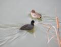 [鳥]オオバンとコガモ