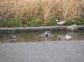 [鳥]セキレイの水浴び