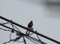 [鳥]ヤマガラ