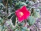 斑入り葉のツバキ