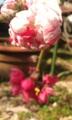 咲き分け枝垂れ桃