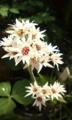 [花]イワヤツデ