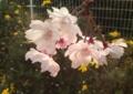 [花]シダレザクラ
