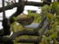 [鳥]シロハラ
