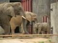[動物園]インドゾウ母子