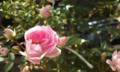 [花]ミニバラ