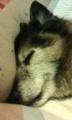 [うちの犬]寝顔