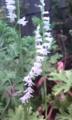 [花]シロバナネジバナ