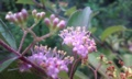 [花]コムラサキ