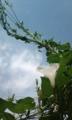 [花]オーストラリアアサガオ