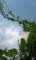 オーストラリアアサガオ