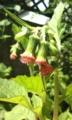 [花]ベニバナボロギク
