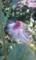 ベニバナボロギクの種