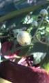 [花]キレンゲショウマ