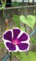 [花]アサガオ