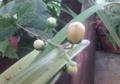 キレンゲショウマ蕾