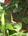 [蝶]アオスジアゲハ