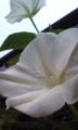 [花]ヨルガオ