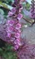 [花]赤ジソ