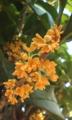 [花]キンモクセイ