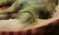 [うちの犬]コロの尻尾