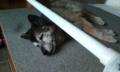 [うちの犬]落下防止棒の下に潜り込んで