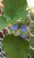[花]マルバツユクサ
