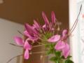 [花]クレメオ(フウチョウソウ科)