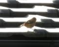 [鳥]ジョウビタキ♀