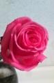 [花]四季咲きバラ