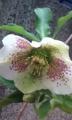 [花]クリスマスローズ(白)開花