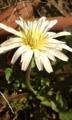 [花]シロバナタンポポ