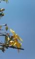 [花]オウバイと青空