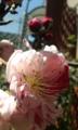 [花]シダレモモ