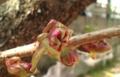 [花]ボタンザクラの蕾